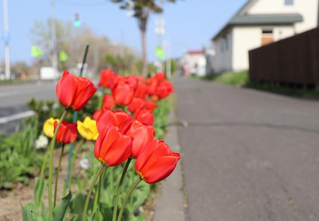 何故か歩道を向く情熱の赤いチューリップ
