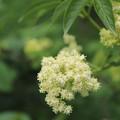 写真: 誰もが振り向かないニワトコの花って・・