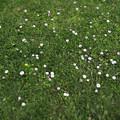 写真: 公園に自生する「ときしらずの花」
