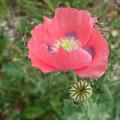 写真: 造花の様な花びら
