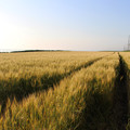 写真: 麦畑