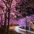 写真: 桜ライトアップ 1