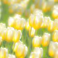 写真: チューリップの季節