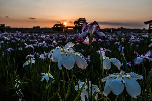 花菖蒲の季節