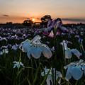 Photos: 花菖蒲の季節