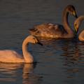 Photos: 夕日に染まる白鳥