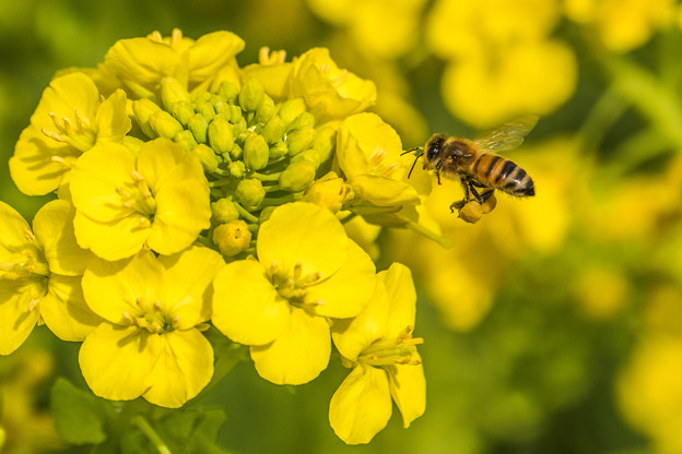 写真: 菜の花の季節