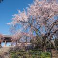 Photos: お寺としだれ桜