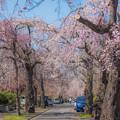 霊園のしだれ桜
