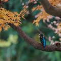 カワセミの紅葉狩り 1