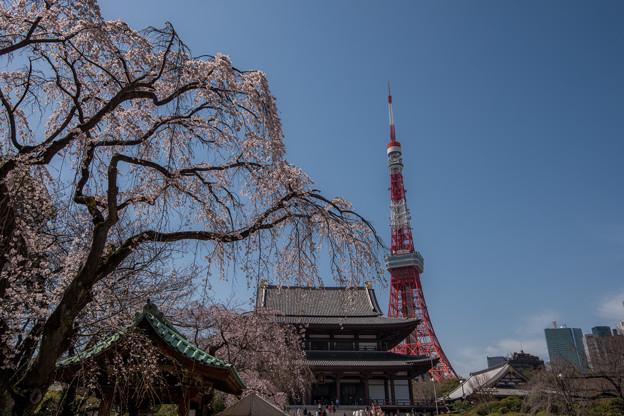 桜巡り 5