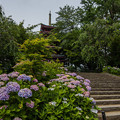 紫陽花の季節 1
