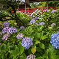 紫陽花の季節 2
