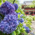 お寺と紫陽花 2