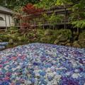 お寺と紫陽花 3