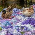 紫陽花とカモ