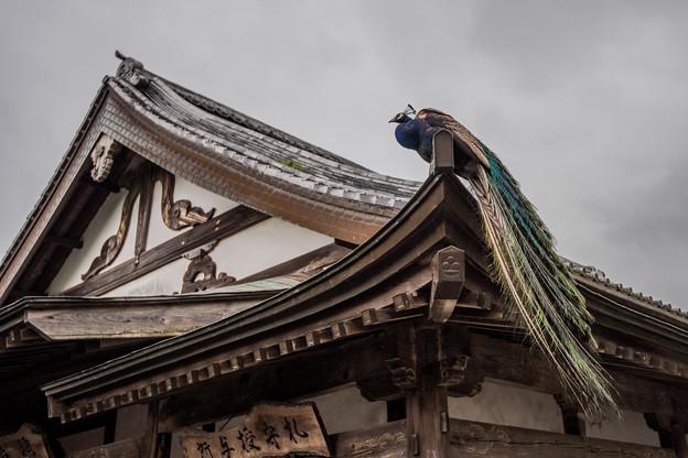 お寺と孔雀