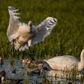 Photos: 今年も白鳥飛来 1