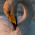 Photos: 今年も白鳥飛来 3