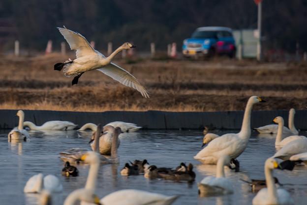 白鳥とマイカー (^-^;