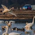 Photos: 白鳥とマイカー (^-^;