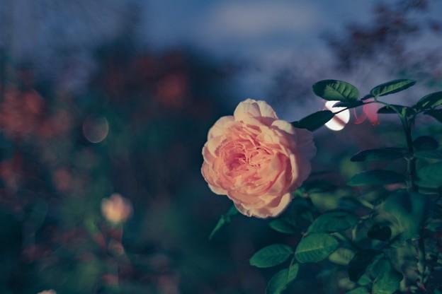 Photos: 薔薇夜想