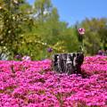 Photos: 花の中の切り株