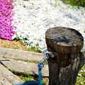 Photos: 木から蛇口