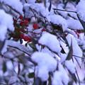 Photos: 雪と南天