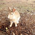 Photos: 大久野島のウサギ