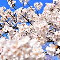 桜、桜、桜