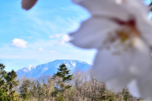 Photos: 大きい桜