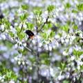 Photos: クマバチ 花へ