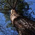 Photos: 大きな木