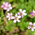 ピンク色の花たち