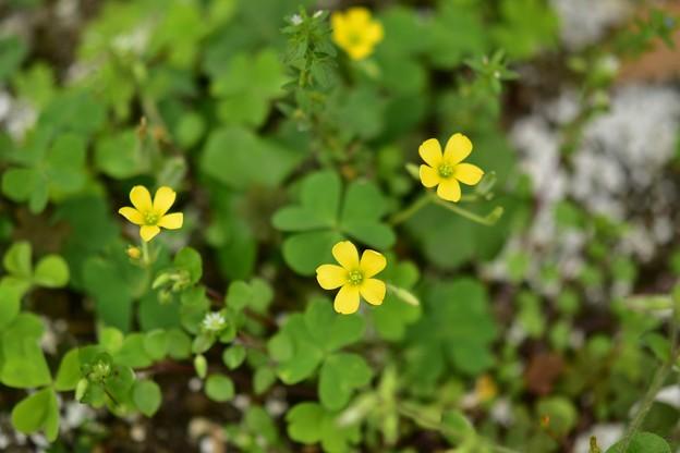 Photos: 小さな黄色の花