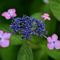 Photos: 紫陽花4