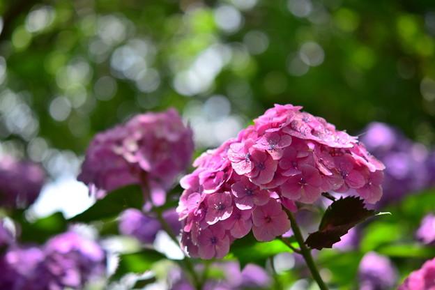 Photos: 紫陽花5