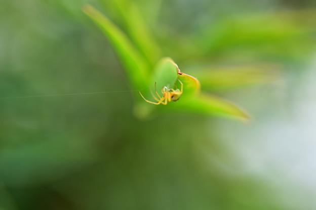 葉の裏の蜘蛛
