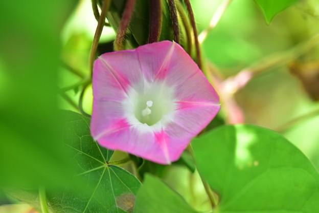 ピンクの花