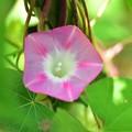 Photos: ピンクの花