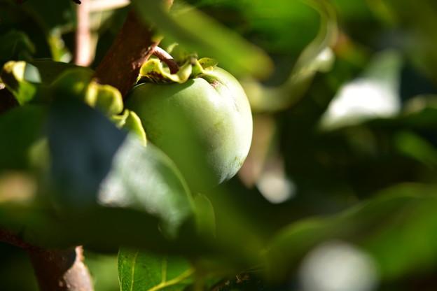 柿はまだ青い