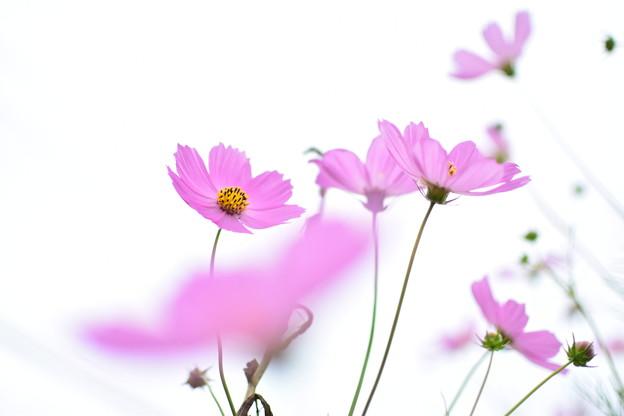 Photos: 白地に咲く