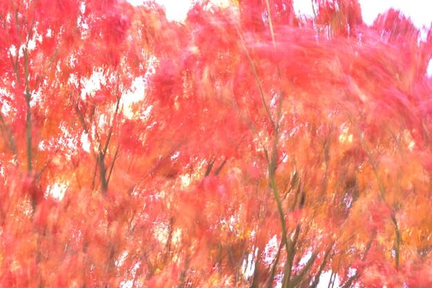 紅葉と強風