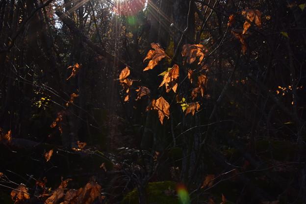 枯れ葉に光