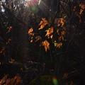 Photos: 枯れ葉に光