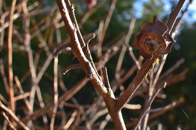 柿の木 冬仕様