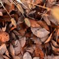 Photos: 枯れ葉の上で