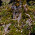 Photos: 木の根