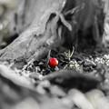 Photos: 赤い実一つ